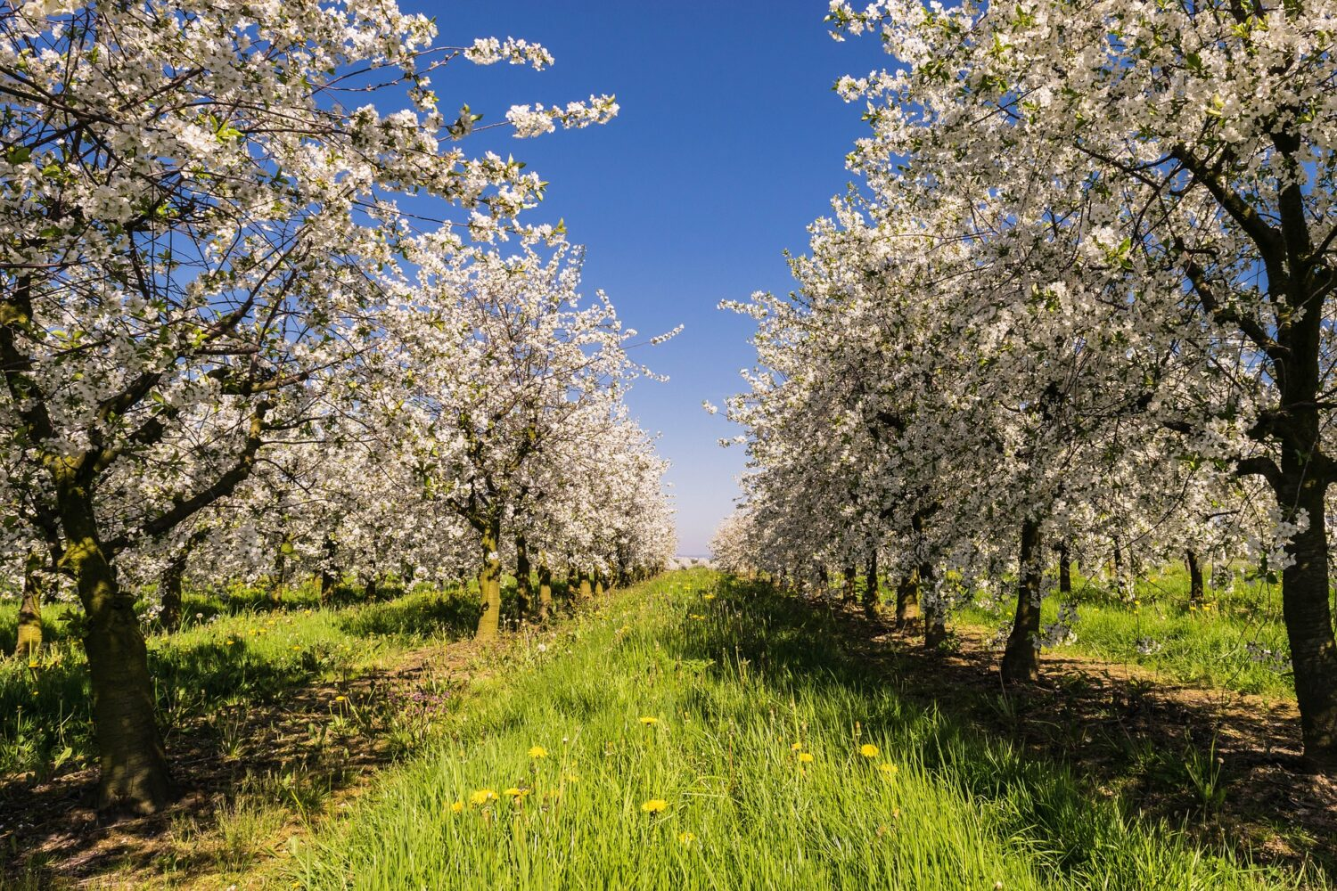 Apple trees in orchard in blossom