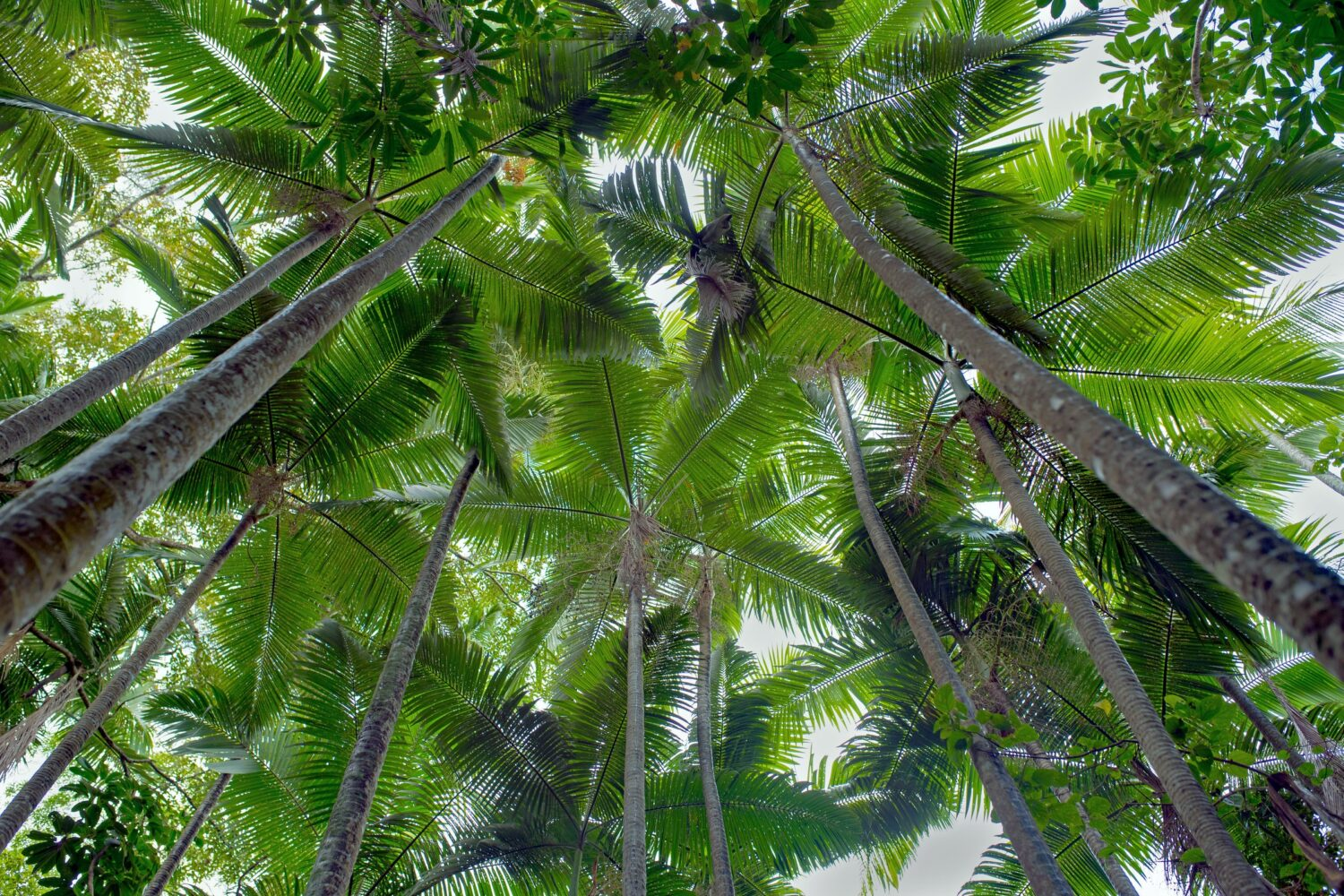 palm trees tops